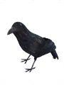 Vrána s peřím (11I)